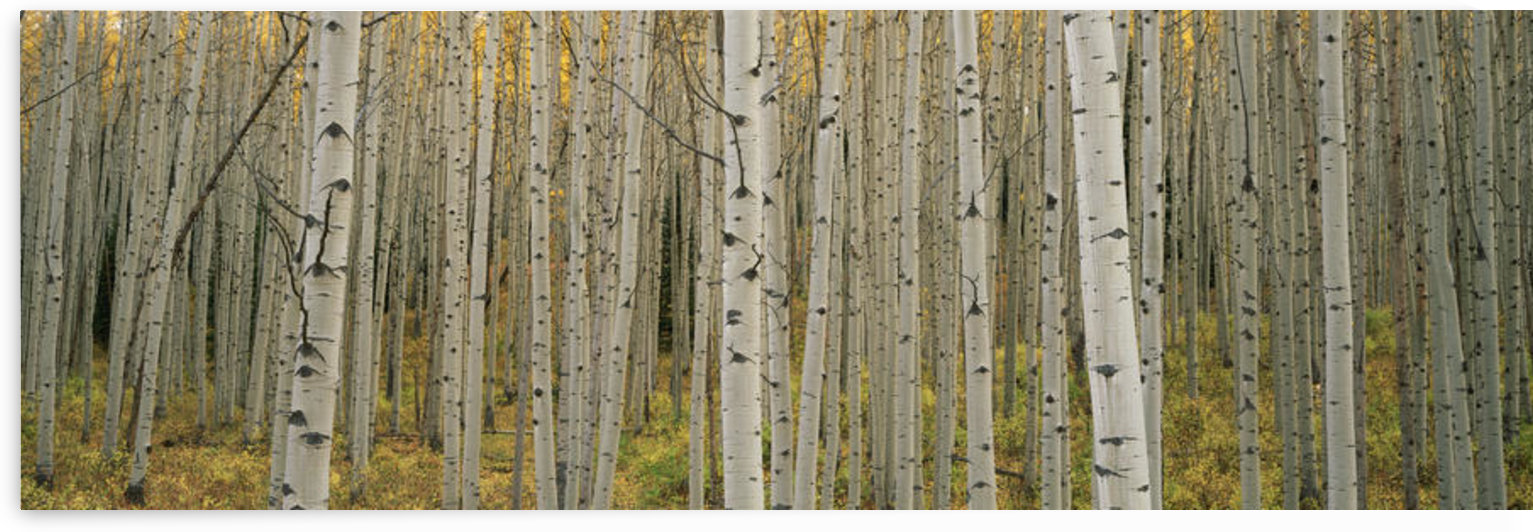 Aspen Grove In Fall, Kebler Pass, Colorado by PacificStock