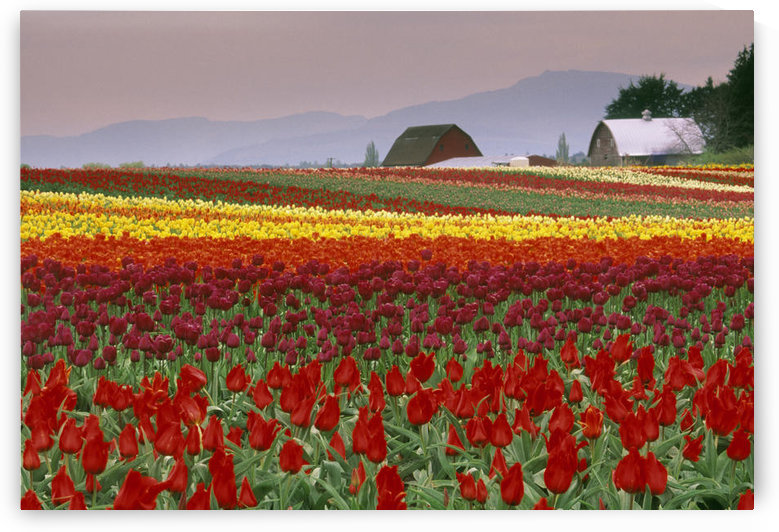 Tulip Fields In Skagit Valley, Washington State, Usa by PacificStock
