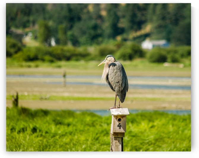 Great Blue Heron by Naturally Scenic Images