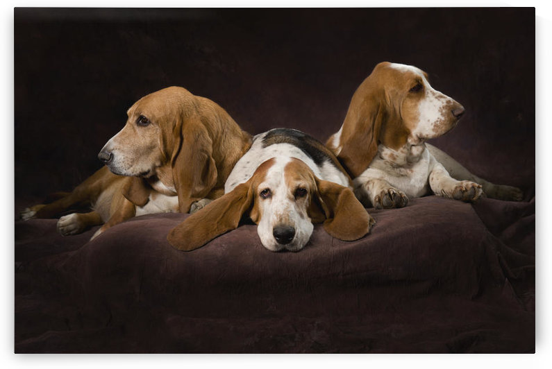 Three Basset Hound On Brown Muslin Backdrop by PacificStock