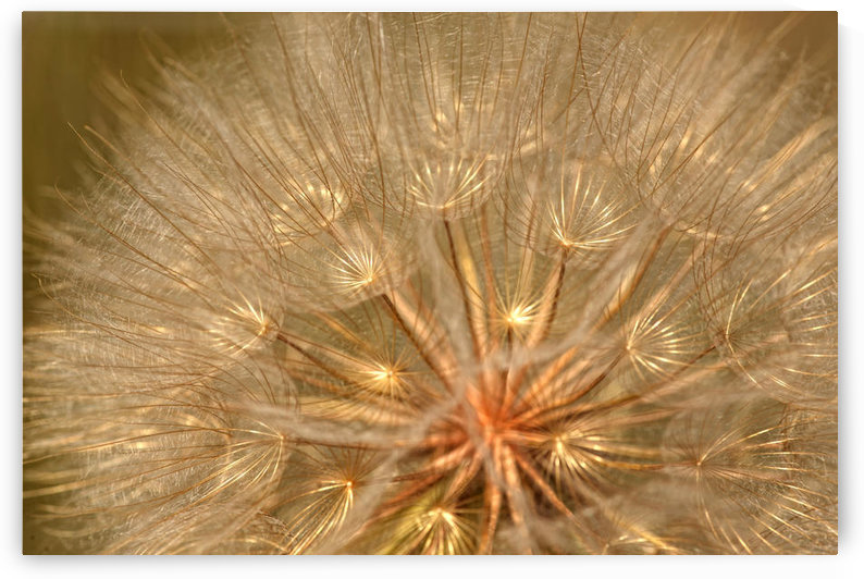 Close-Up Of Goat's Beard, Saskatchewan by PacificStock