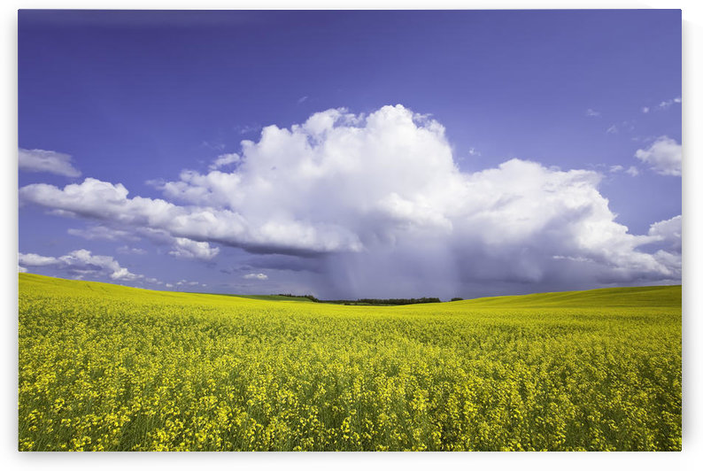 Rainstorm Over Canola Field Crop, Pembina Valley, Manitoba by PacificStock