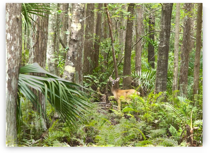HDR Deer in the forest by PJ Lalli