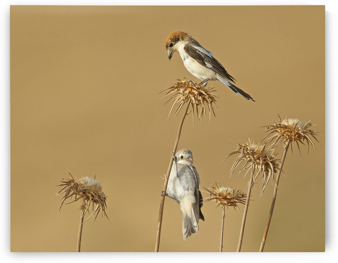 Woodchat Shrike by 1x