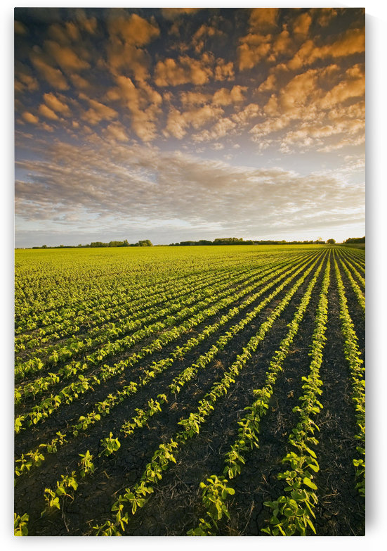Early Growth Soybean Field Near Lorette, Manitoba, Canada by PacificStock