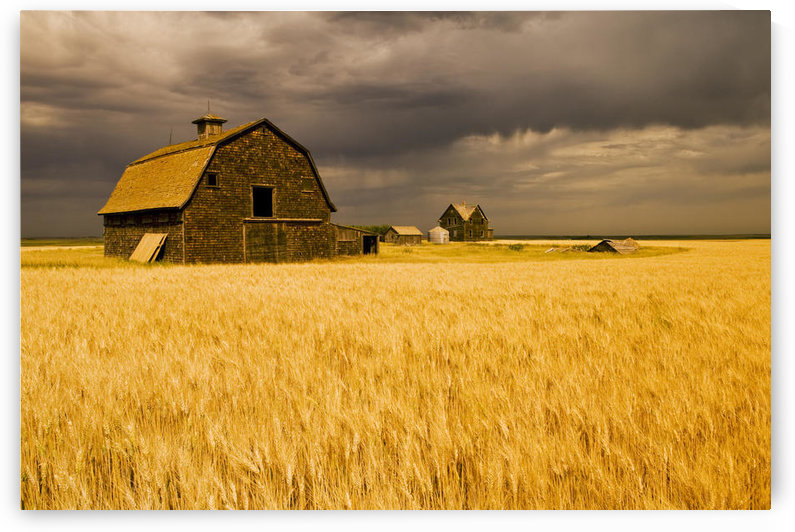 Abandoned Farm, Wind-Blown Durum Wheat Field Near Assiniboia, Saskatchewan by PacificStock