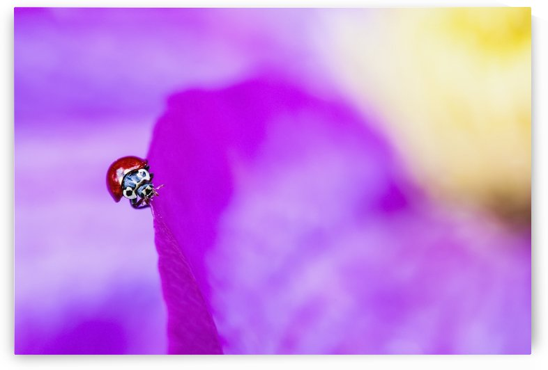 A ladybug on a pink clematis;British columbia canada by PacificStock