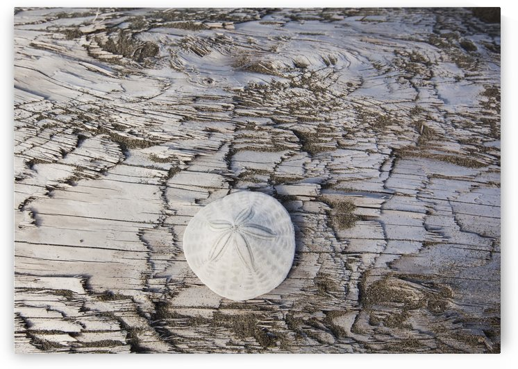 A sandollar on a piece of driftwood on coastal british columbia;Vancouver island british columbia canada by PacificStock
