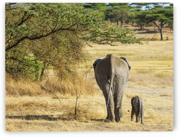 An African Elephant with it's young; Tanzania by PacificStock