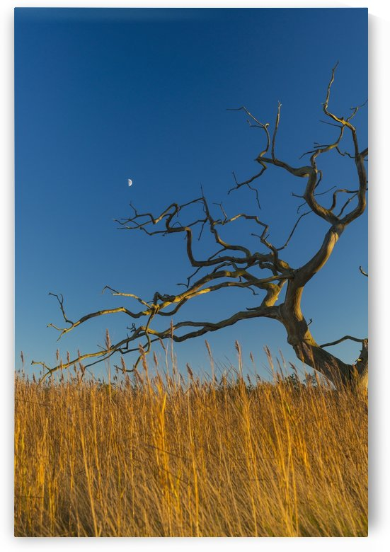 Old, dead tree above reeds with moon behind; Snape, Suffolk, England by PacificStock