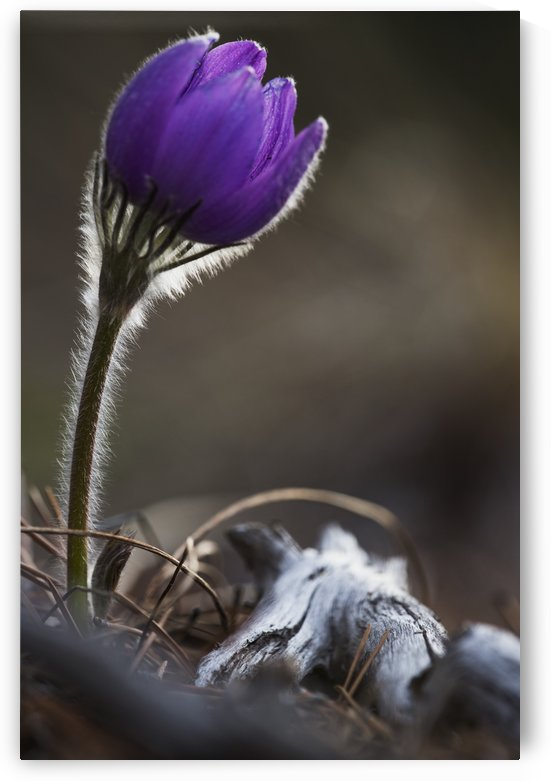 Close up of crocus blossoming; Yukon, Canada by PacificStock