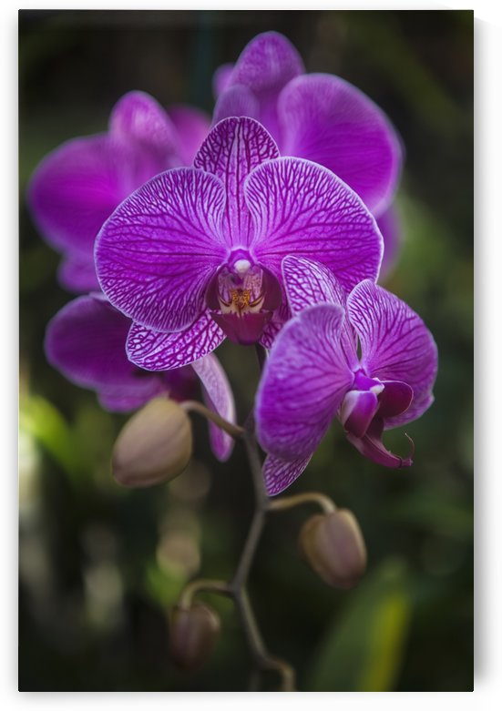 Phalaenopsis orchids in bloom; Kailua, Island of Hawaii, Hawaii, United States of America by PacificStock