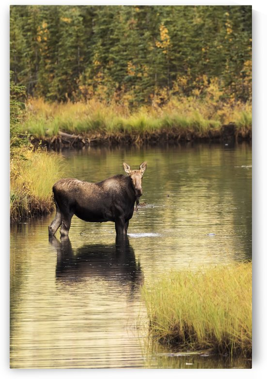 Moose (alces alces) feeding in a shallow pond south of Cantwell, photo taken from Parks Highway common moose habitat; Alaska, United States of America by PacificStock