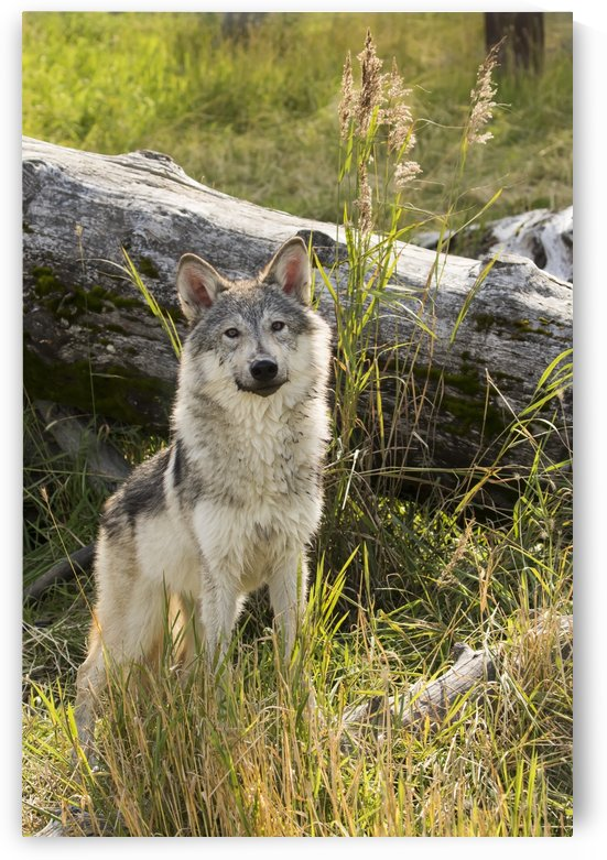 Immature female wolf (canis lupus), captive at the Alaska Wildlife Conservation Center; Portage, Alaska, United States of America by PacificStock