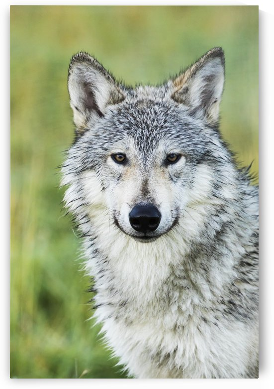 Immature female wolf (canis lupus), captive at the Alaska Wildlife Conservation Center, South-central Alaska; Portage, Alaska, United States of America by PacificStock