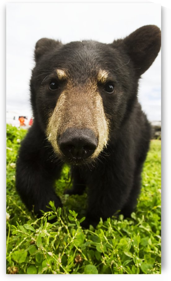 Black bear cub (ursus americanus), captive in Alaska Wildlife Conservation Center, South-central Alaska; Portage, Alaska, United States of America by PacificStock