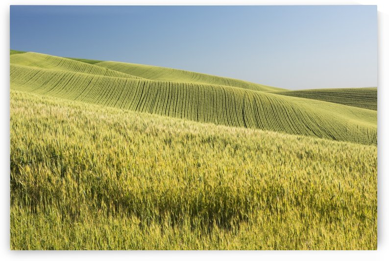 Rolling hills of barley grain fields and blue sky in the Palouse County of Eastern Washington; Washington, United States of America by PacificStock