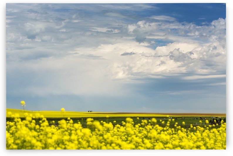 Flowering canola field with dark storm clouds and cattle grazing; Nanton, Alberta, Canada by PacificStock