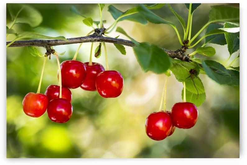 Close up of red ripe cherries hanging on a branch; Calgary, Alberta, Canada by PacificStock