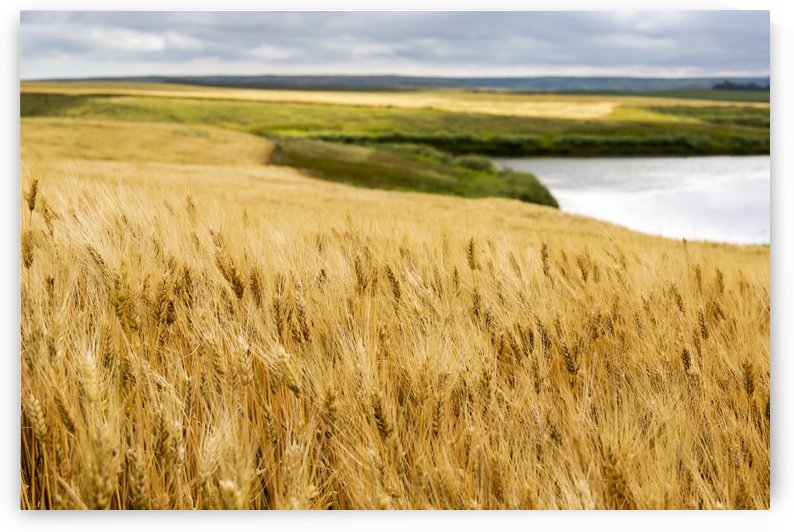 Ripe golden brown wheat field with pond and rolling hills in the background; Elkwater, Alberta, Canada by PacificStock