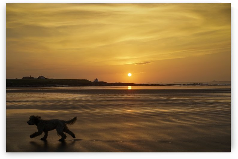A dog runs across a wet beach with the golden sun setting in an orange sky along the coast and Bamburgh Castle in the distance; Bamburgh, Northumberland, England by PacificStock