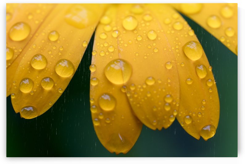Close up of water droplets on yellow flower petals; South Shields, Tyne and Wear, England by PacificStock