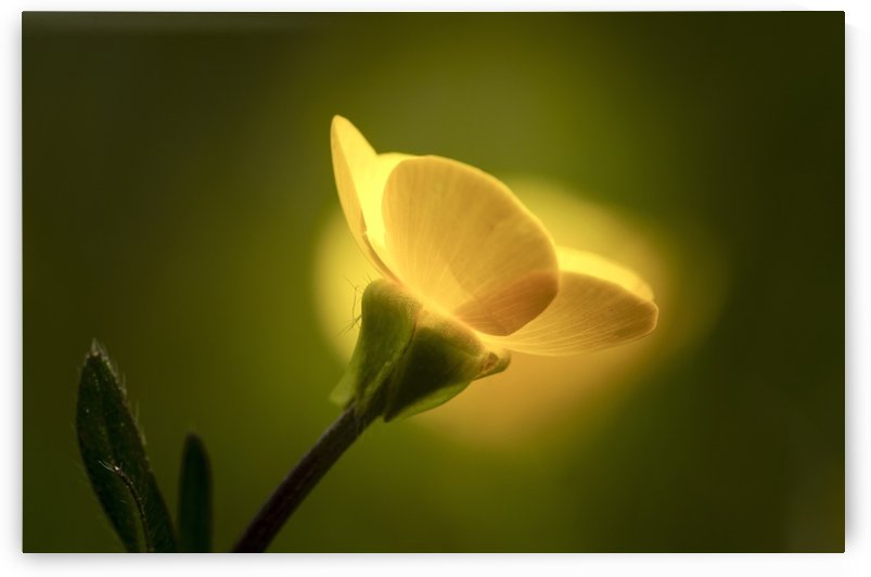 A yellow flower glowing in sunlight; South Shields, Tyne and Wear, England by PacificStock