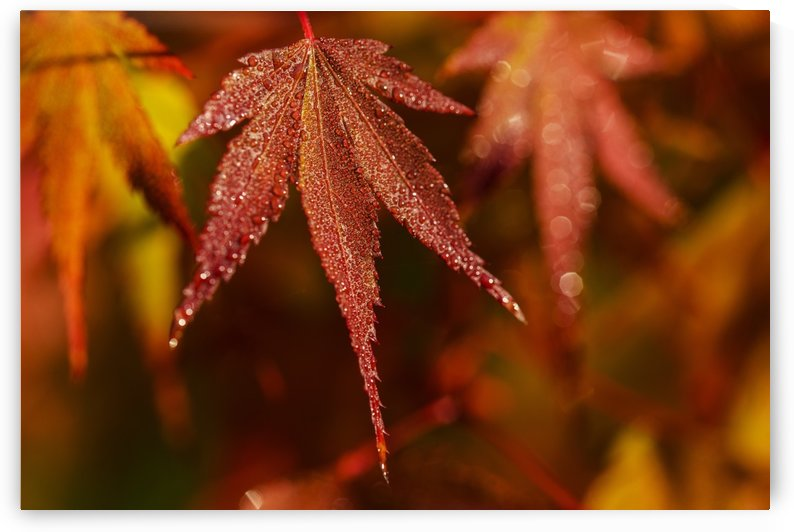 Japanese Maple (Acer palmatum) turning red in the autumn; Astoria, Oregon, United States of America by PacificStock