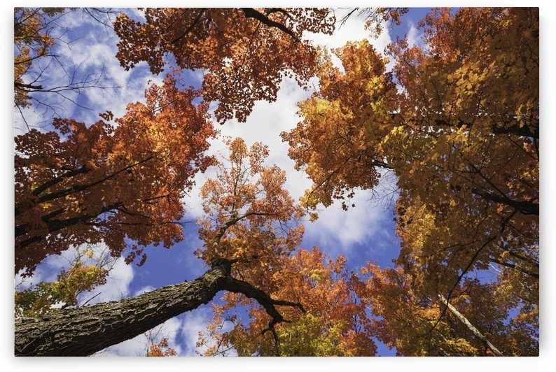 Looking up at the colourful canopy of leaves in Algonquin Park; Ontario, Canada by PacificStock