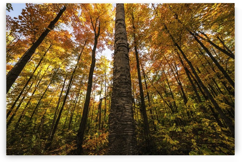Looking up at the colourful canopy of leaves of Algonquin Park; Ontario, Canada by PacificStock