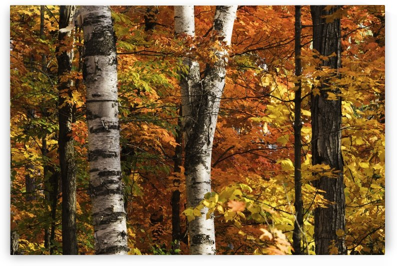 The colourful leaves and birch tree trunks in Algonquin Park; Ontario, Canada by PacificStock