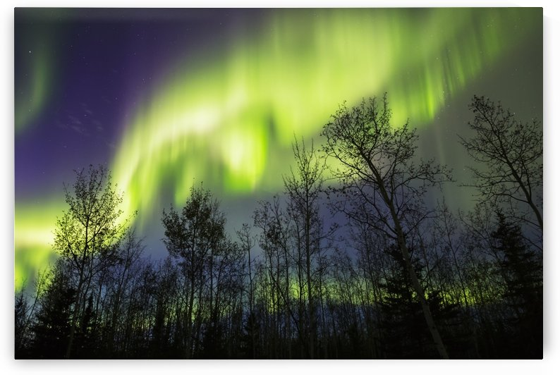 Aurora borealis over silhouetted trees; Alaska, United States of America by PacificStock
