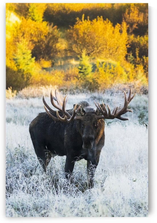 Bull moose (alces alces) in a frosty field in autumn at sunrise on a cold morning, South-central Alaska; Anchorage, Alaska, United States of America by PacificStock