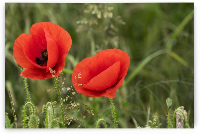 Close up of red poppies blossoming; South Shields, Tyne and Wear, England by PacificStock