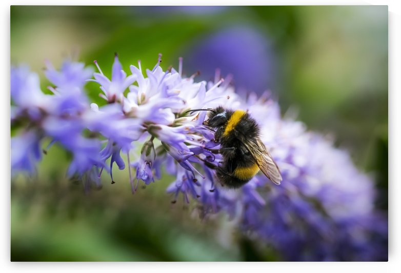 A bee resting on a purple flower; South Shields, Tyne and Wear, England by PacificStock