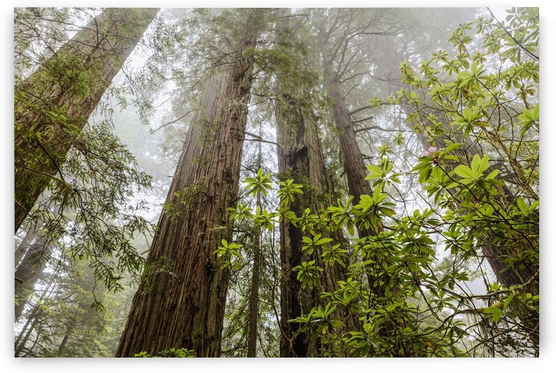 Redwood trees in fog, Redwood National and State Parks; California, United States of America by PacificStock