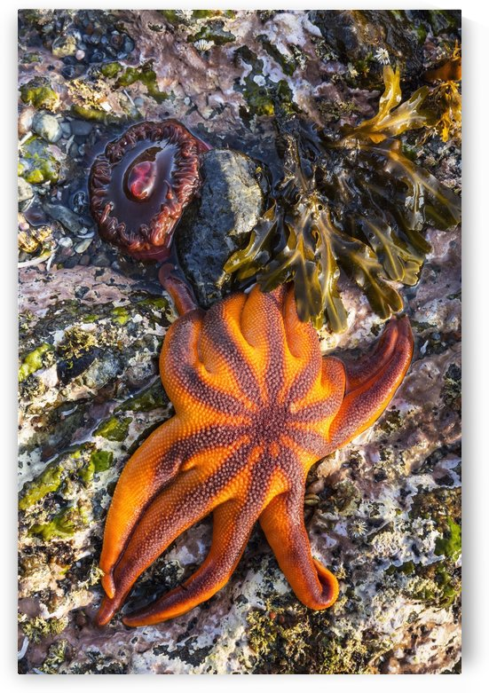Detail view of sea stars and anemones in a tidal pool, Hesketh Island, Homer, Southcentral Alaska, USA by PacificStock