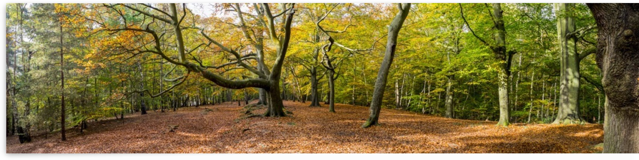 Panorama of a forest in autumn colours; Surrey, England by PacificStock