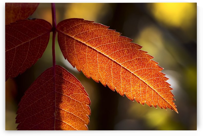 Close up of colourful mountain ash leaves in autumn back lit by the sun; Calgary, Alberta, Canada by PacificStock