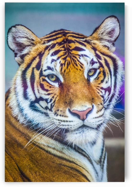 Portrait of Bengal Tiger (panthera tigris tigris) endangered species, captive; Chippewa Falls, Wisconsin, United States of America by PacificStock