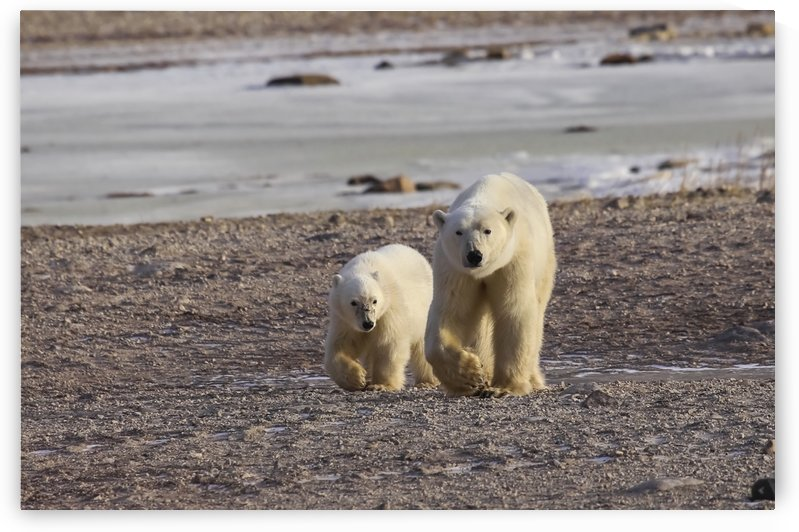 Polar bear (ursus maritimus) and cub walking side by side on the shore; Churchill, Manitoba, Canada by PacificStock