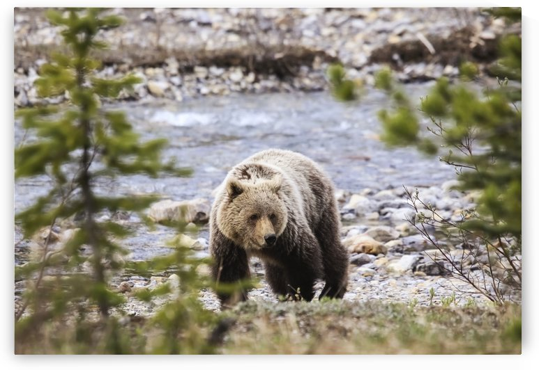 Grizzly Bear (ursus arctos Horribilis), Banff National Park; Alberta, Canada by PacificStock