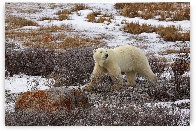 Polar bear (ursus maritimus), Wapusk National Park; Manitoba, Canada by PacificStock