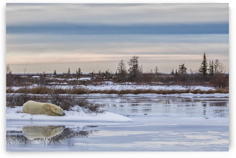 Polar bear (ursus maritimus) laying alongside a thawing pond waiting for Hudson Bay to freeze over; Churchill, Manitoba, Canada by PacificStock
