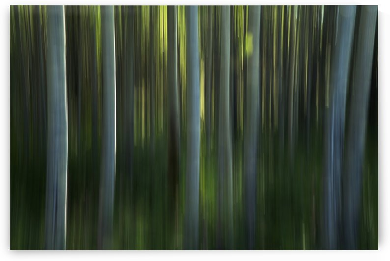 Motion panning of poplar trees; Yukon, Canada by PacificStock