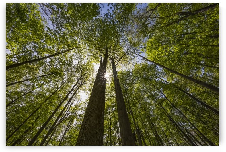 An Ontario Maple forest in summer with the sun shining from behind a tree; Strathroy, Ontario, Canada by PacificStock
