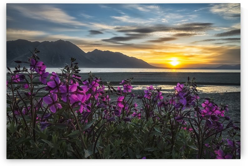 Purple Vetch (Vicia americana) blooms along the shores of Kluane Lake with sunset happening in the distance; Yukon, Canada by PacificStock