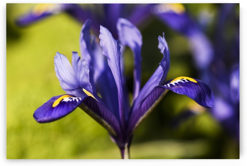 Dwarf Iris blooms in February; Oregon, United States of America by PacificStock