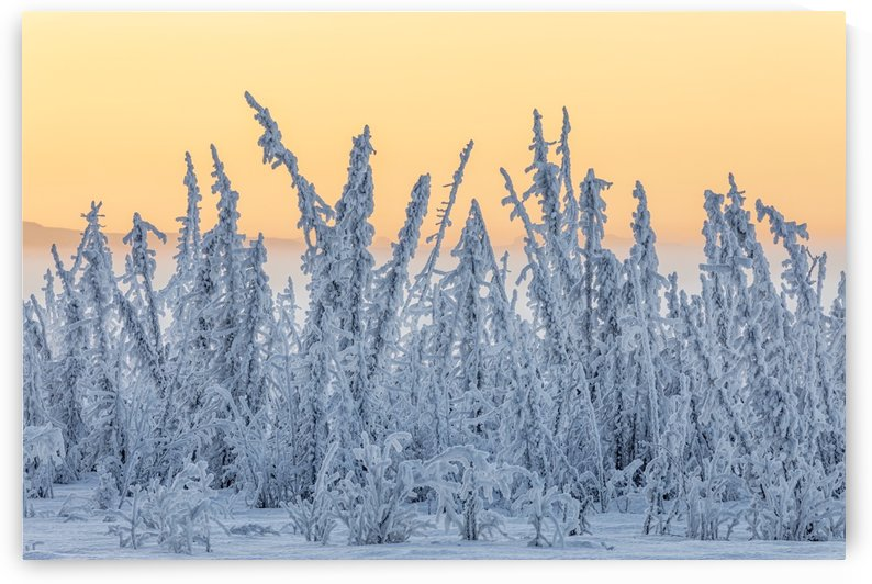 Hoarfrost covers black spruce trees as ground fog and dusk descend on Palmer Hay Flats in South-central Alaska in winter; Alaska, United States of America by PacificStock