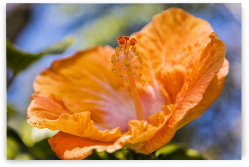 Close-up of orange hibiscus flower; Maui, Hawaii, United States of America by PacificStock